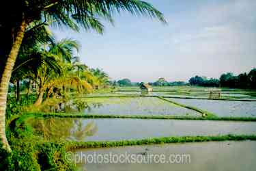 Rice Field - The edge of a rice field