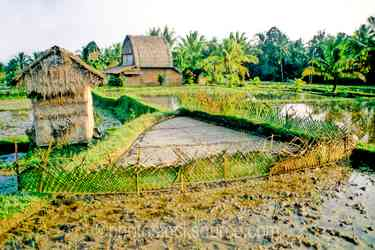 Rice Field and Buildings - Rice field and farm buildings