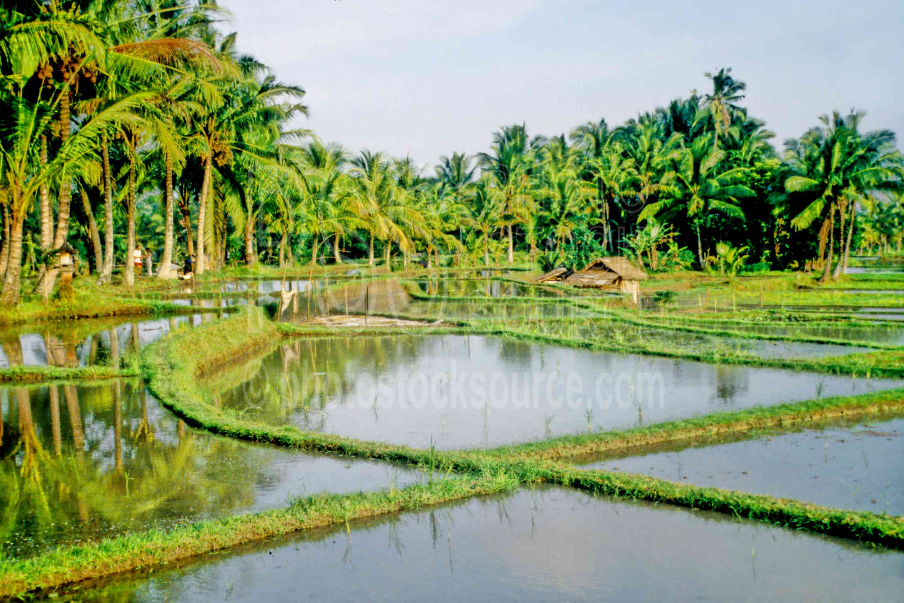 Rice Fields,rice field,rice,agriculture,nature