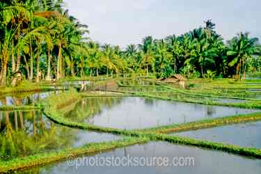 Rice Fields - Flooded portions of a rice field