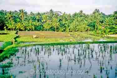 Photo of Rice Fields