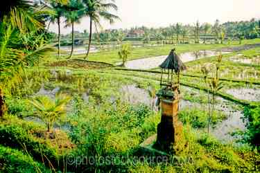 Rice Fields - Shrine on the edge of a rice field