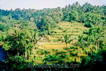 Rice Terraces - Rice terraces on a hillside above a river