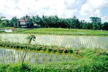 Photo of Rice Field