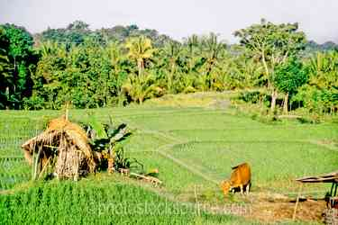 Rice Field Cow