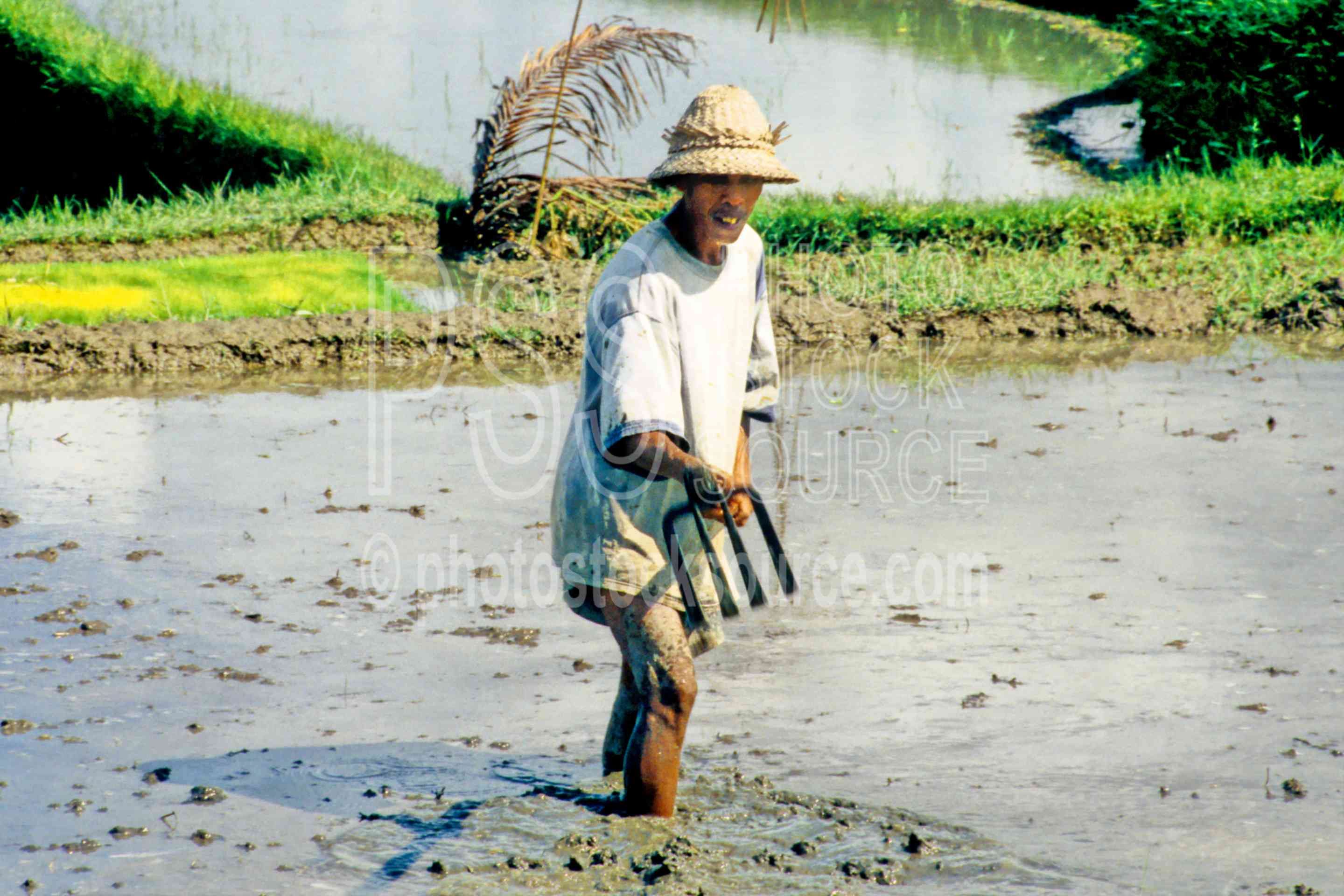 Man in Rice Field,mans,work,working,rice field,agriculture