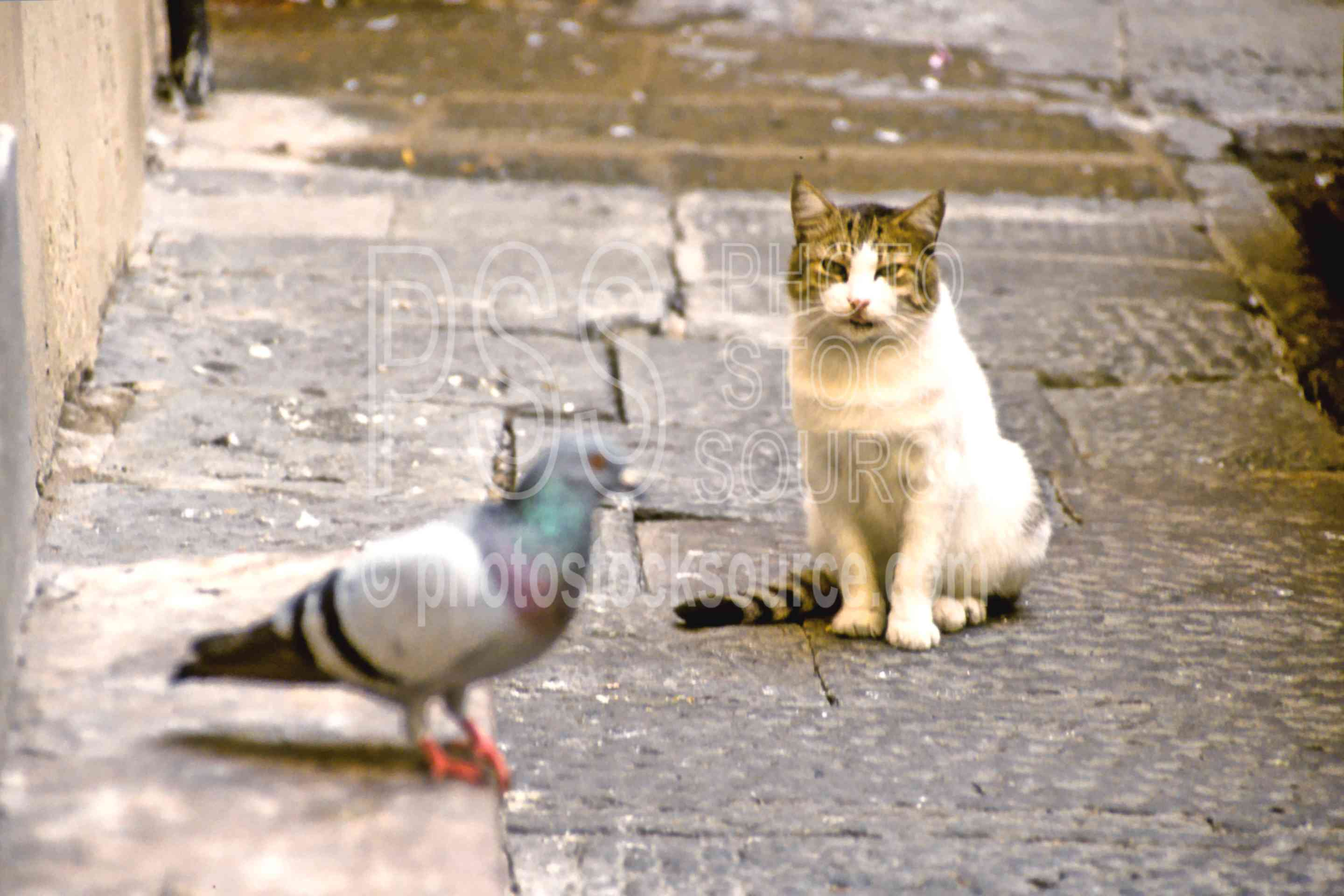 Potential Lunch,bird,cats,pigeon,animals