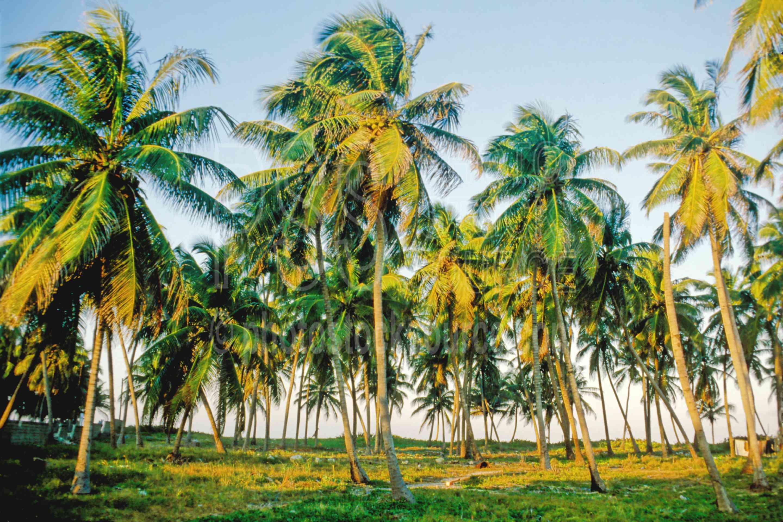 Palm Trees,palm,palm tree,nature