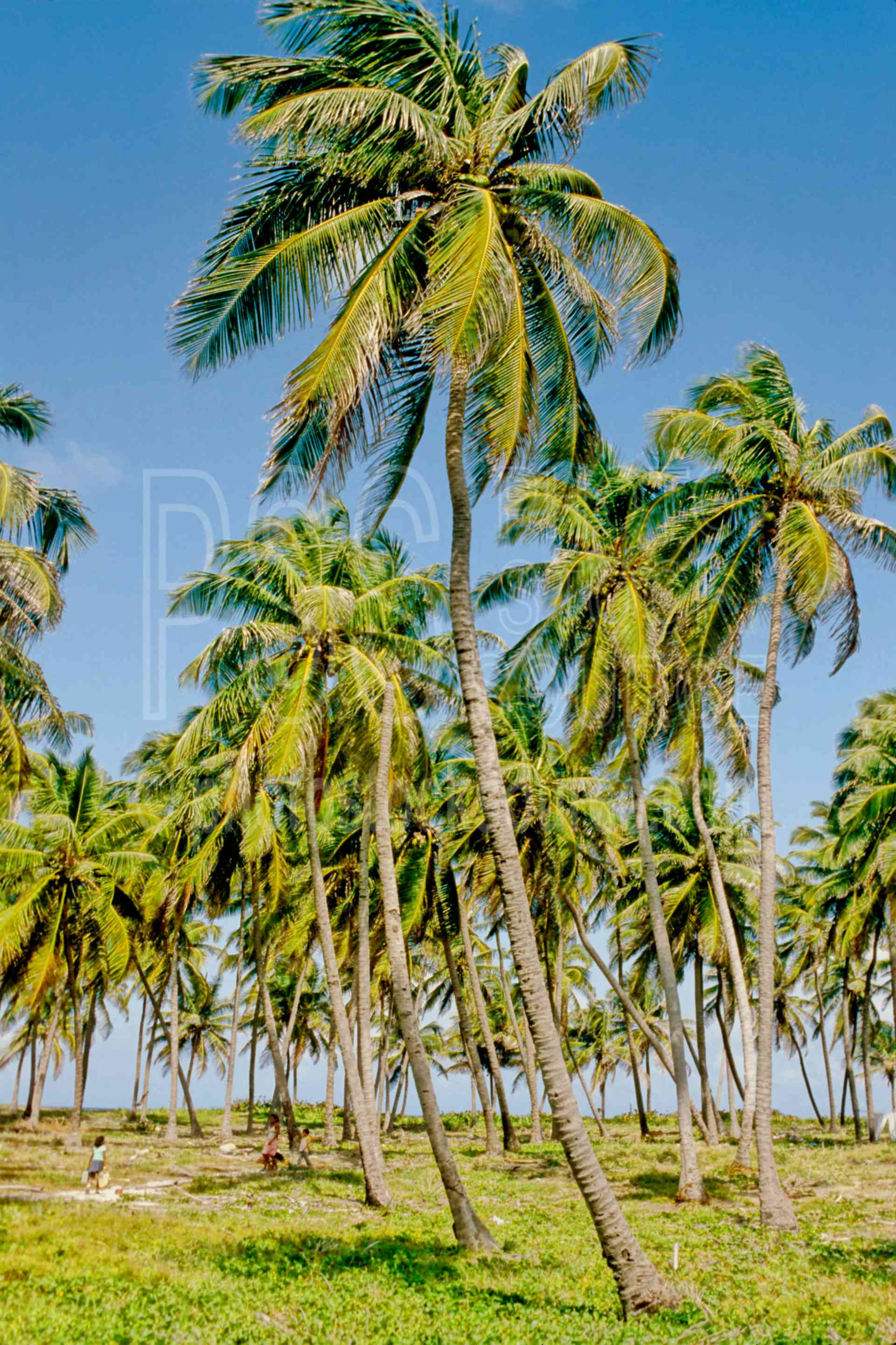 Palm Tree Grove,grove,palm,palm tree,nature