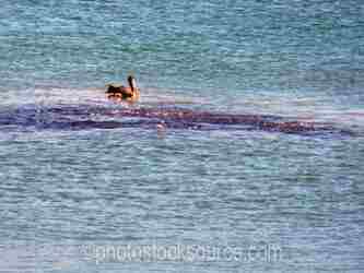 Brown Pelicans School of Fish