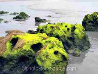 Scorpion Bay Sea Moss