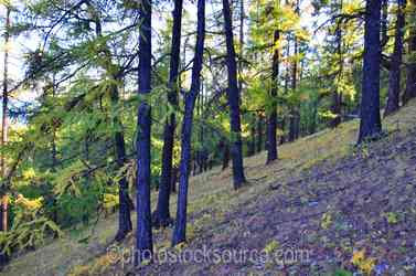 Siberian Larch Forest