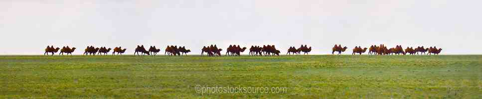 Train of Bactrian Camels