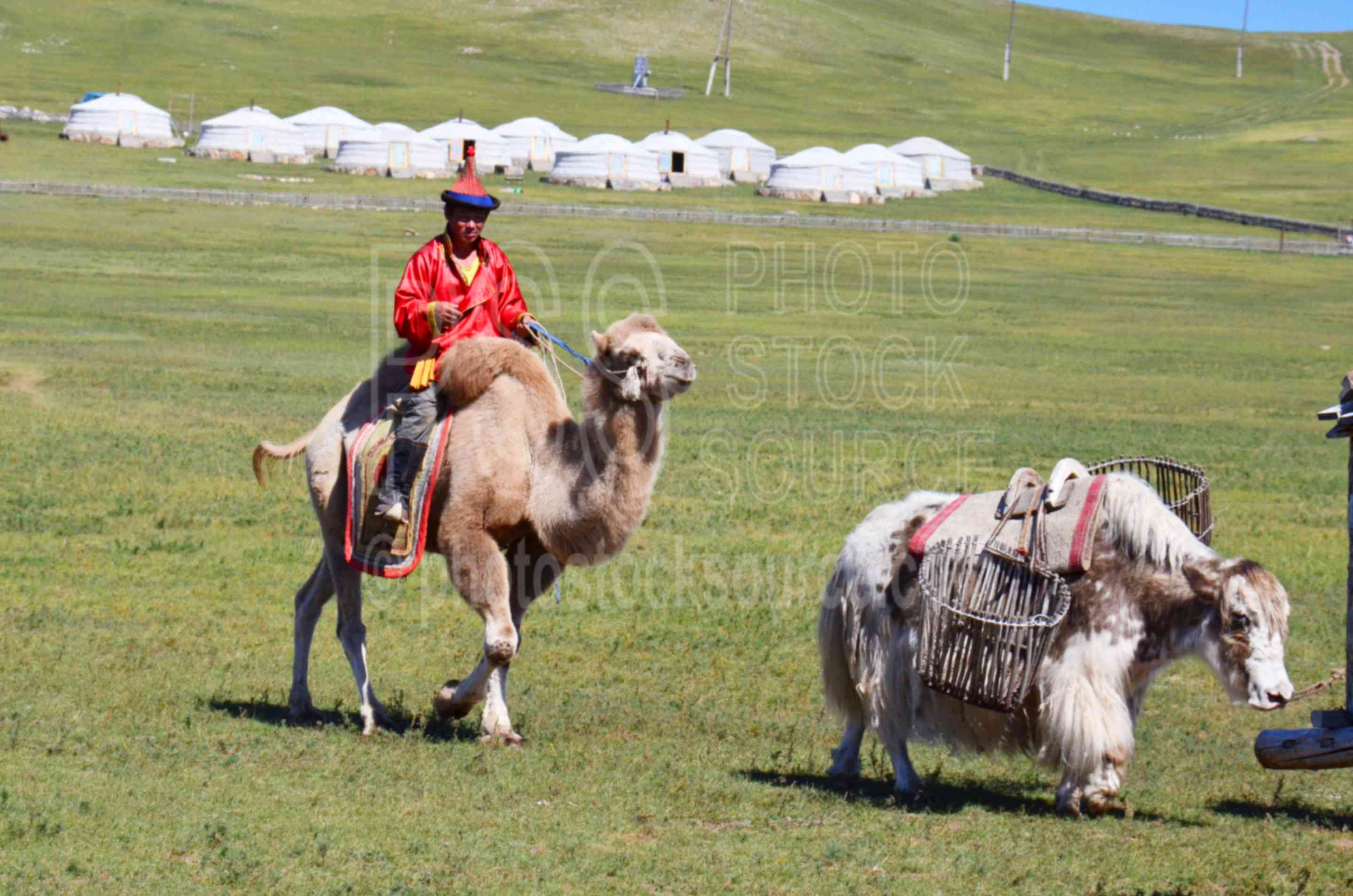 Man on Camel with Gers,camel,yak,traditional,dress,ger,camp