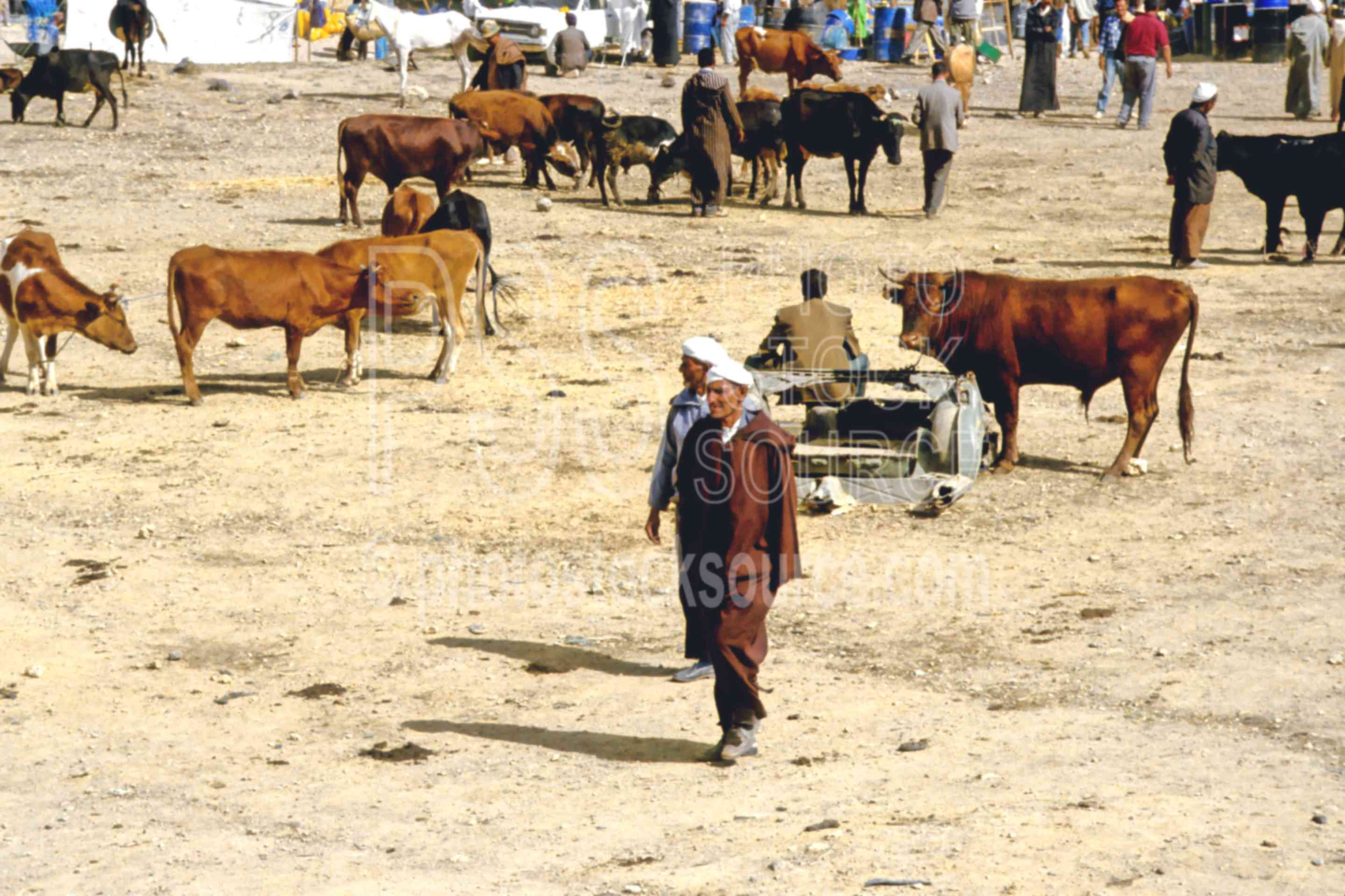 Berber Cattle Market,cattle,cows,market,mens,people,sell,morocco markets,animals