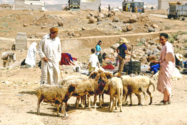 Sheep Sellers,djellaba,market,mens,people,sell,sheep,morocco markets,animals