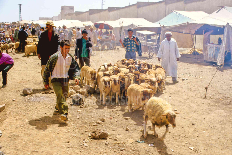 Sheep Headers,herd,sheep,wool,work,worker,morocco markets,animals