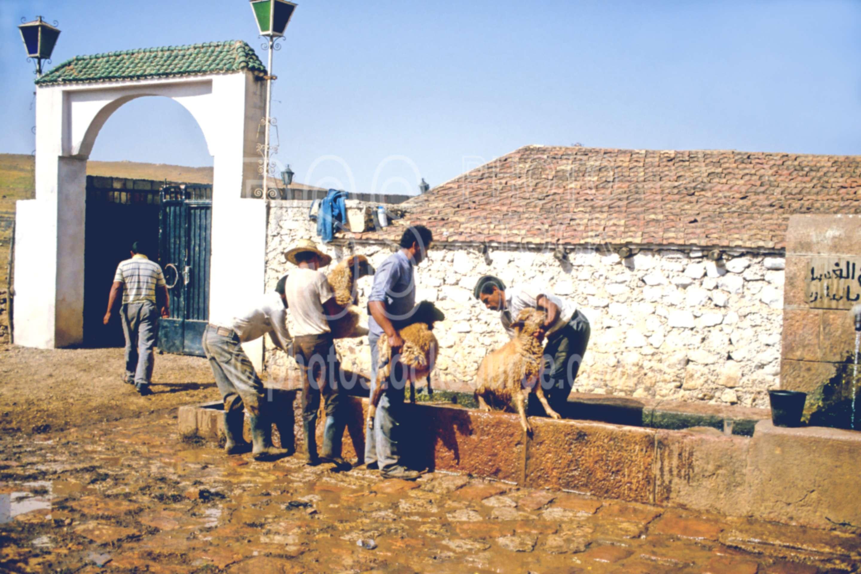 Dipping Sheep,animal,herder,mens,sheep,work,worker