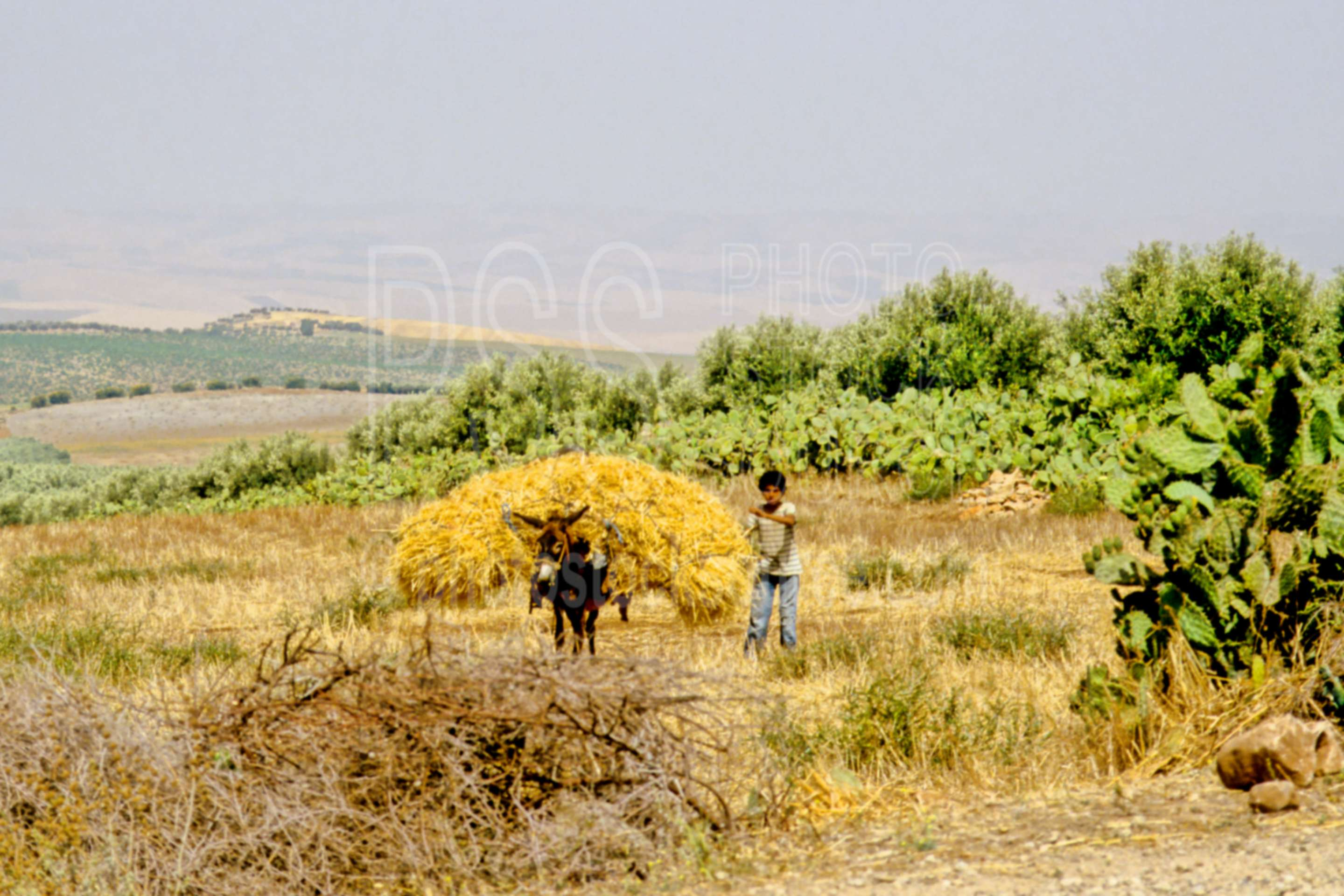 Donkey Carrying Hay,donkey,work,worker,hays,boys,beast of burden,agriculture,animals