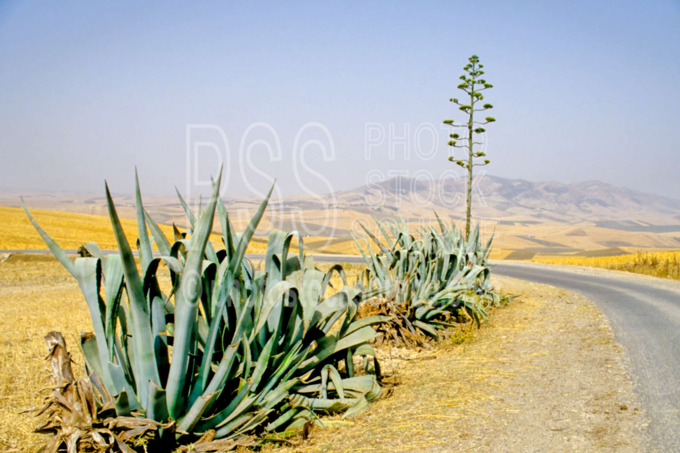 Spanish Sword,large view,large image view,large photo view,enlarged view,zoom in,high resolution,detail,big,large,full view,Spanish sword agave cactus near Volubolis,Volubolis,Morocco,plant,agave,cactus,plant,desert,plants