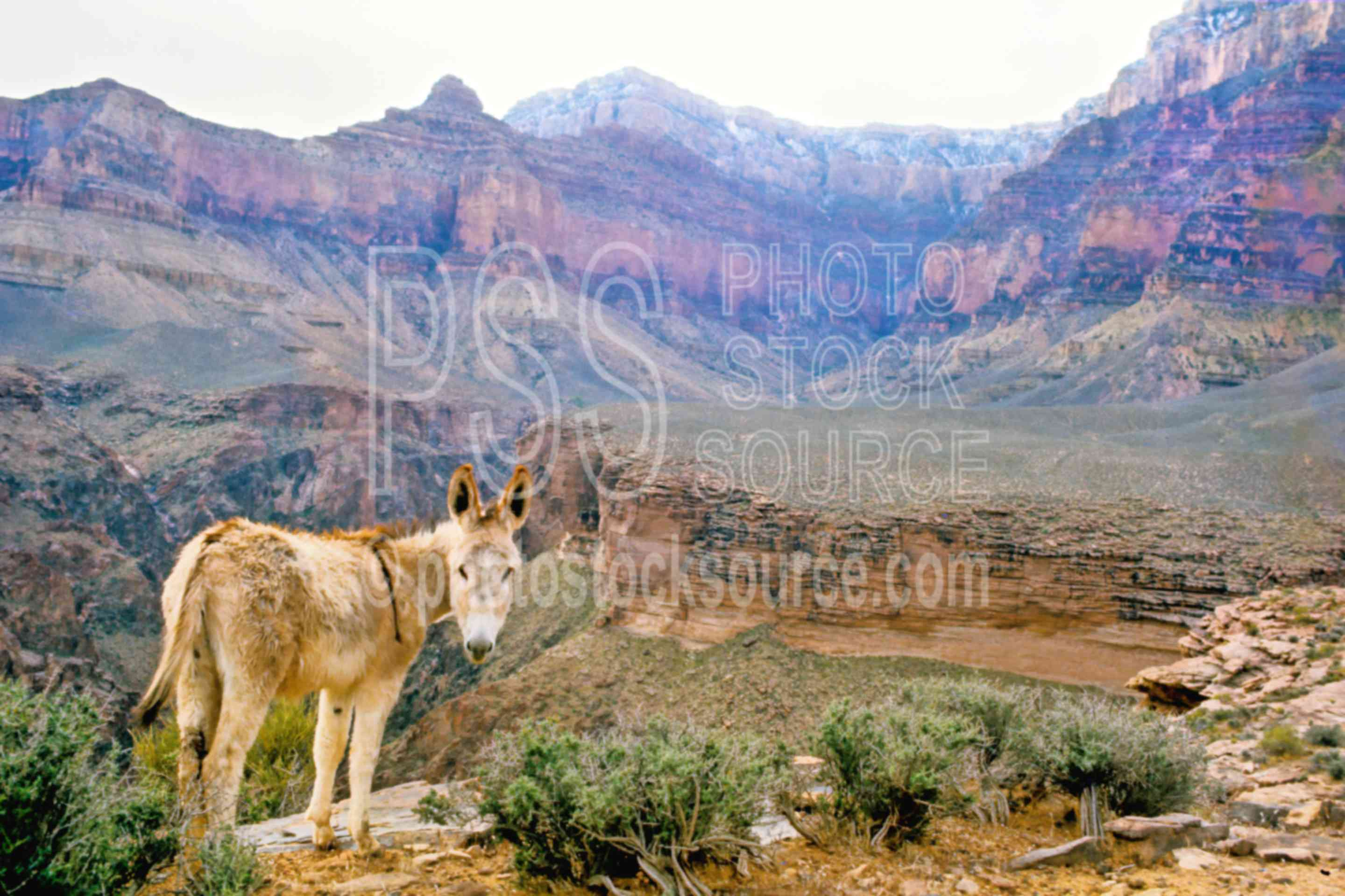 Wild Mule,mule,plateau point,usas,national park,nature,national parks,animals
