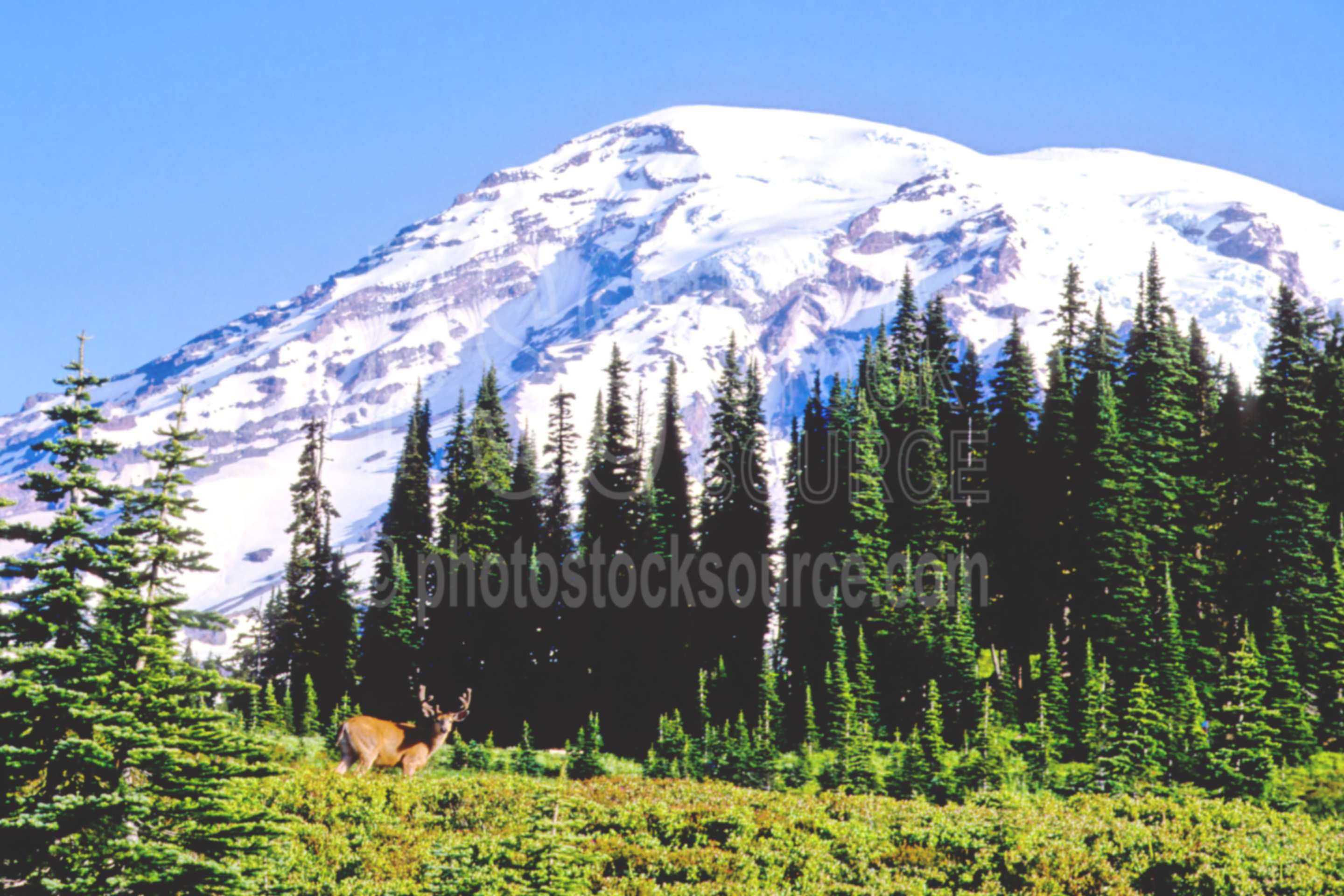Deer and Mt. Rainier,animal,buck,deer,mt. rainier,paradise,usas,national park,nature,national parks,mountains