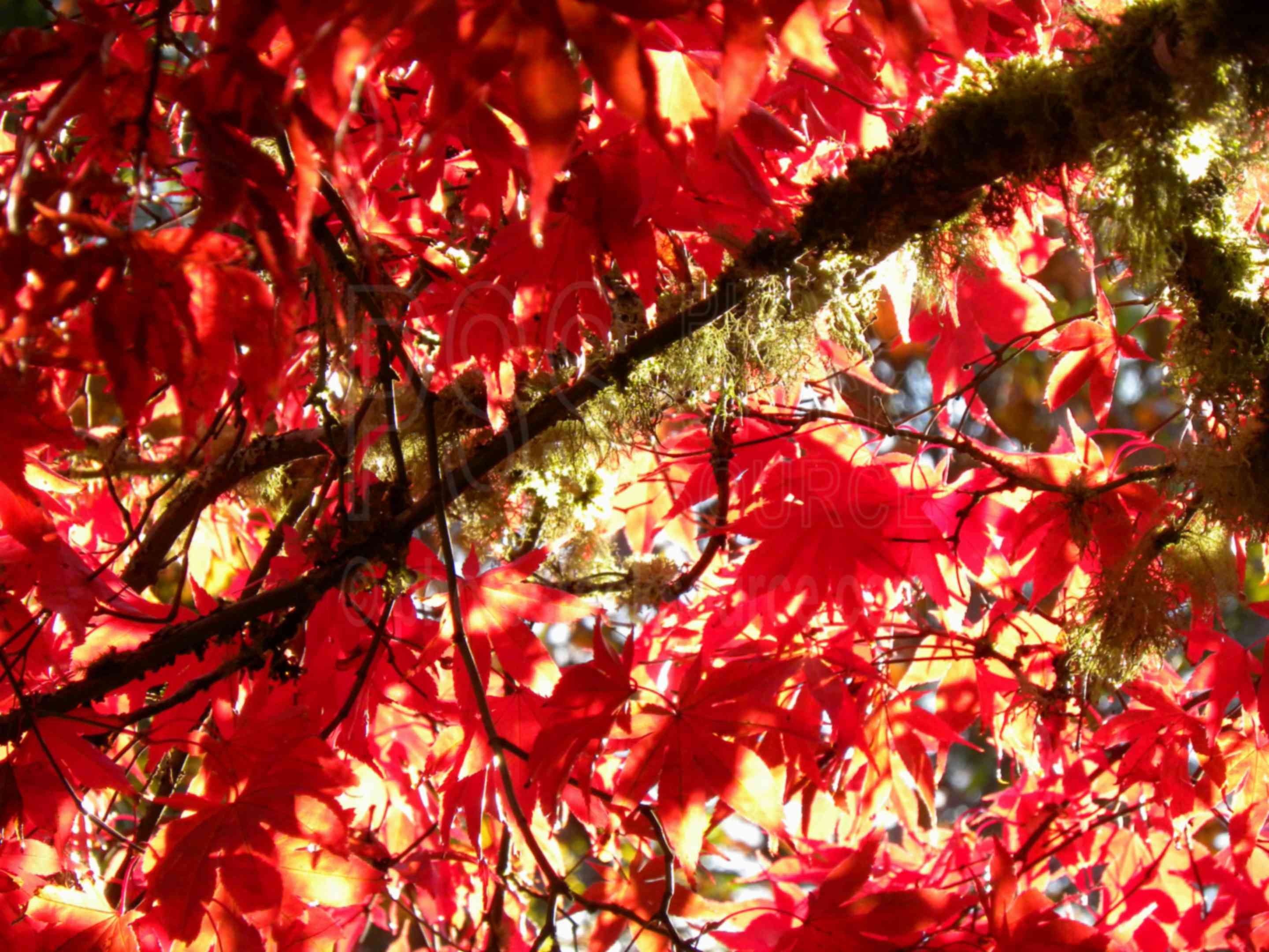 Japanese Maple Leaves,leaf,red,leaves,maple,fall,season