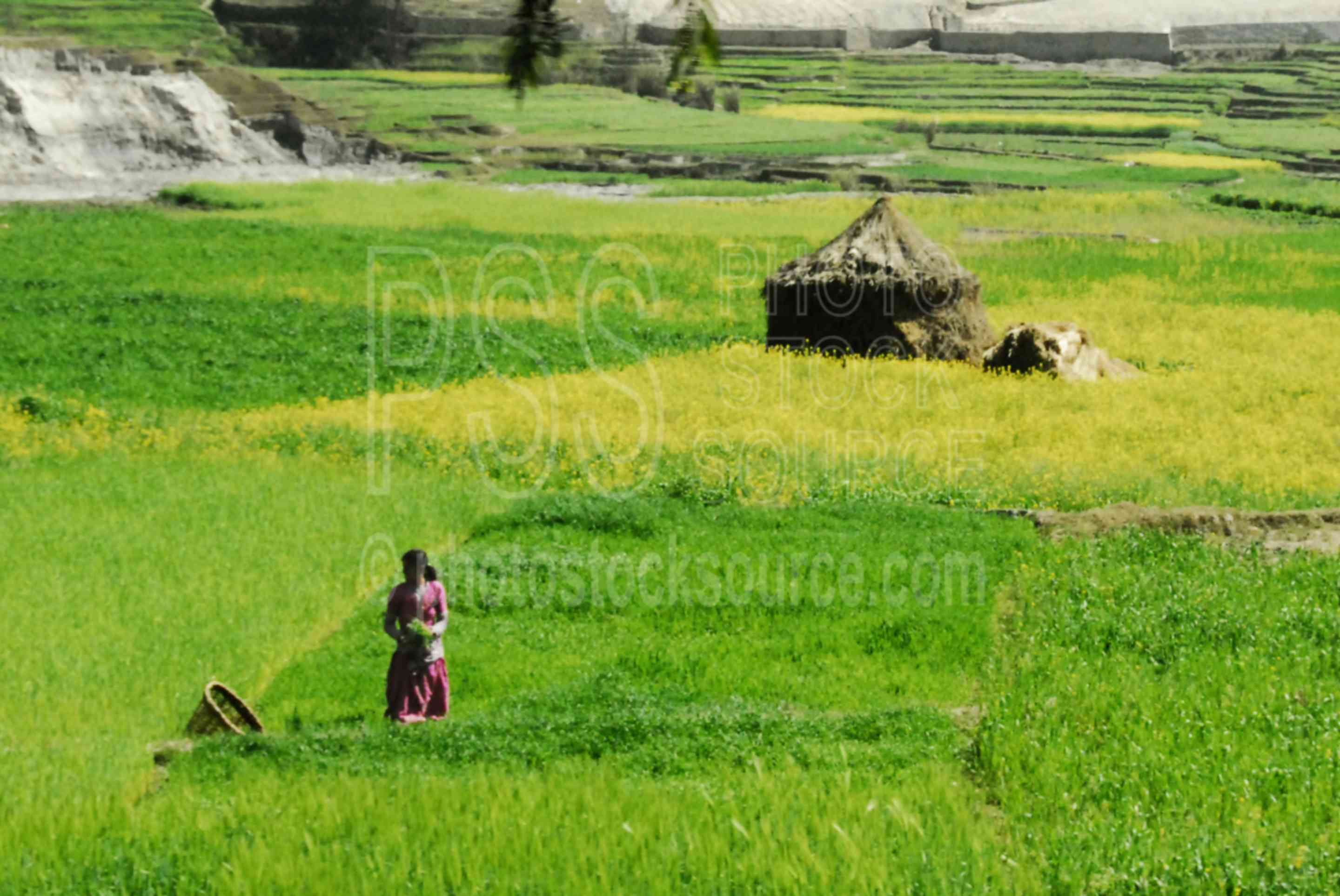 Cultivated Fields,fields,agriculture,cultivated,hut,house
