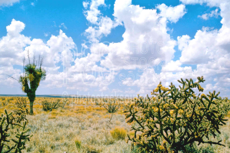 Yucca and Cholla,cactus,cholla,yucca,plant,desert,usas,plants
