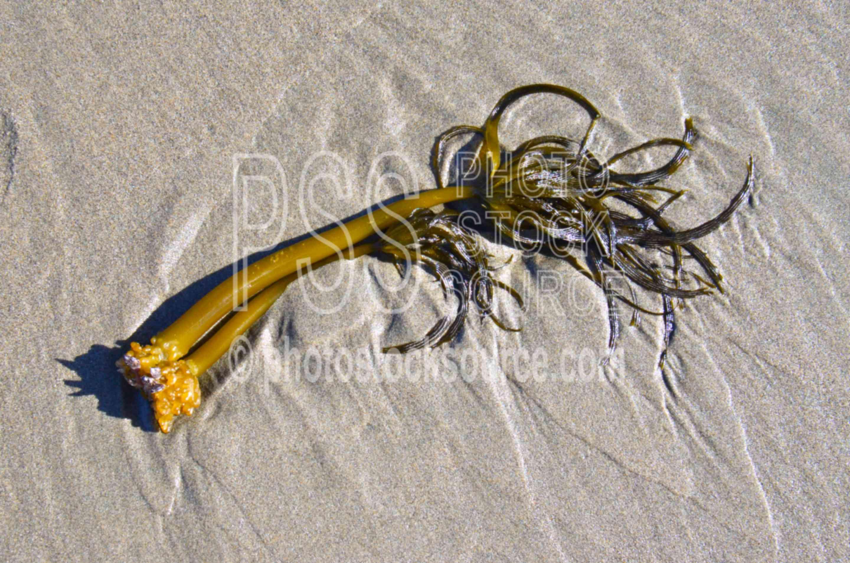 Kelp Seaweed on Beach,seaweed,kelp,beach,plant
