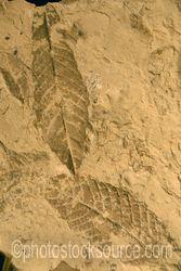 Aguacatillo Leaf Fossils
