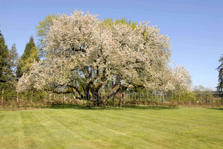 Photo of Black Cherry Tree by Photo Stock Source tree, Eugene ...