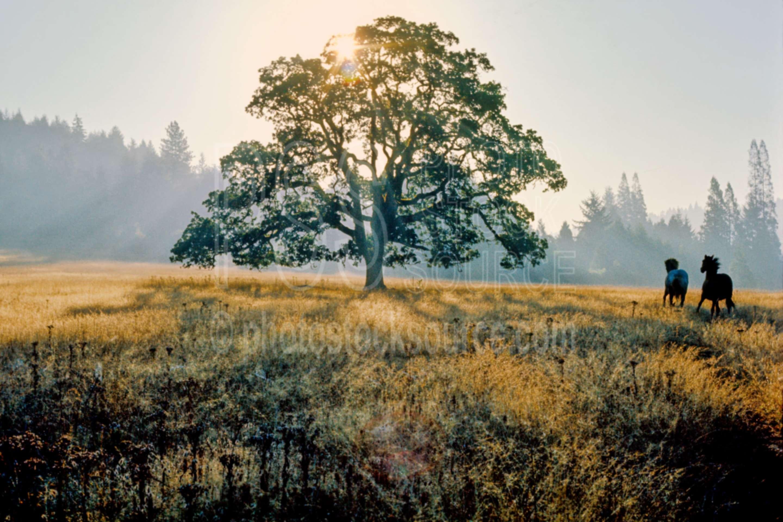 Horses and Oak Tree,horse,morning,oaks,sunrise,tree,usas,farms,animals