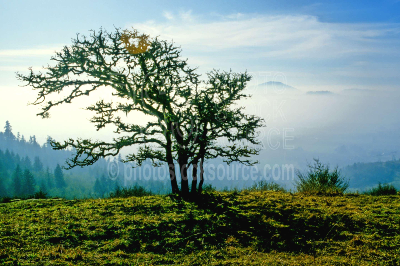 Mt. Pisgah Oak Tree,oak tree,oaks,mt. pisgah,mount,usas