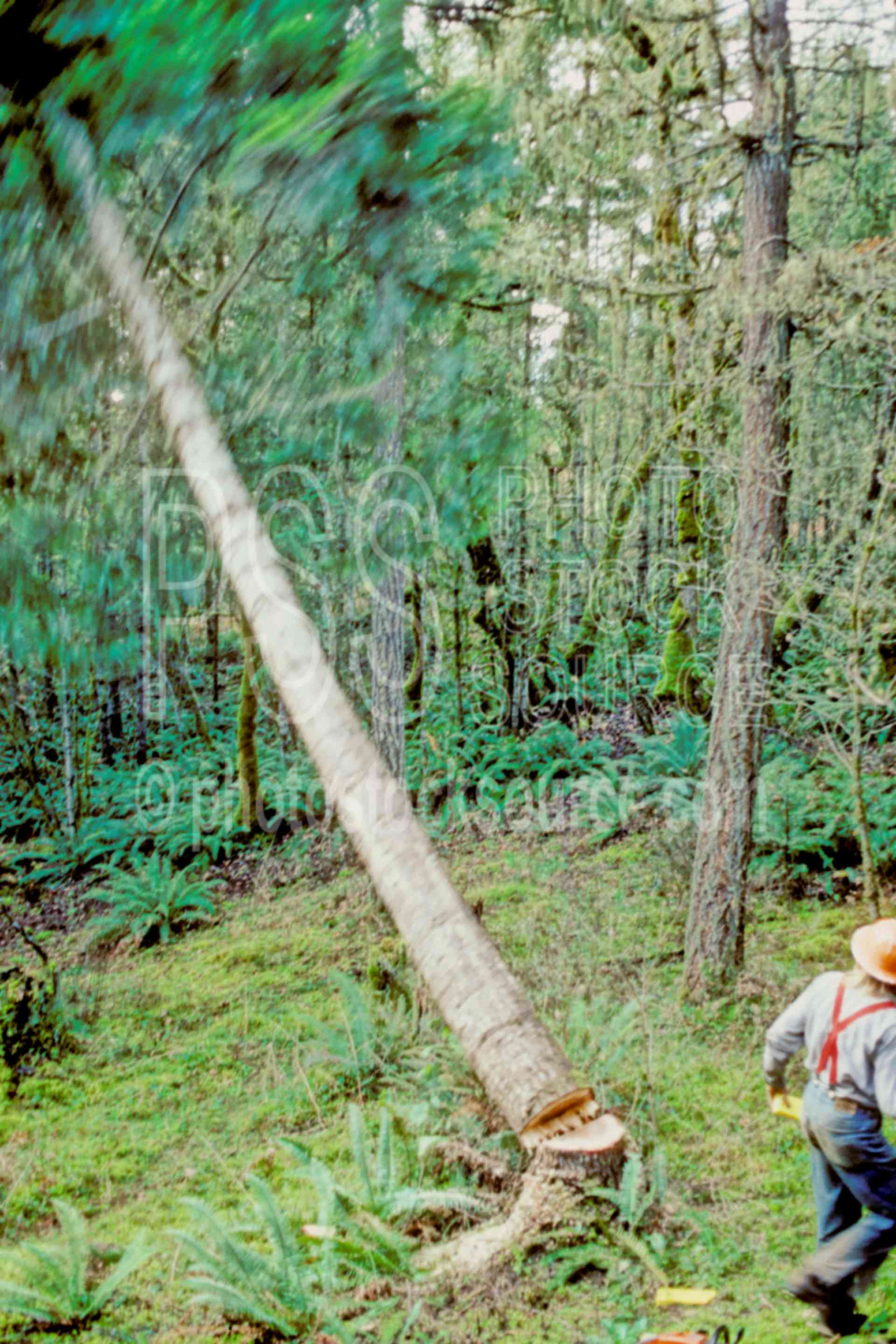 Logger Felling Trees,work,timber,chainsaw,tree cutting,usas
