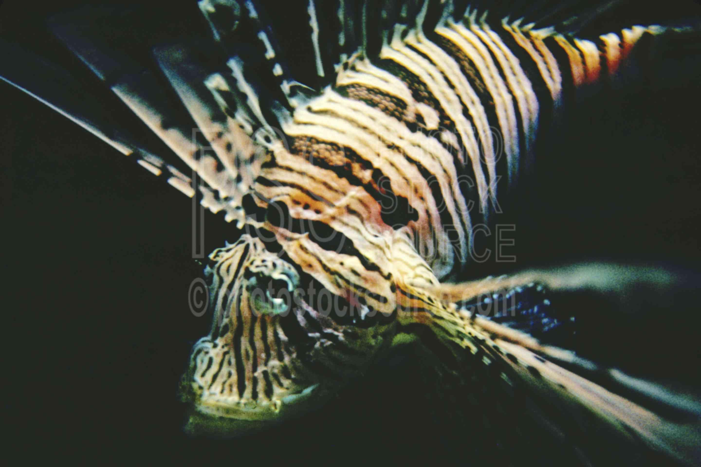 Scorpion Fish,