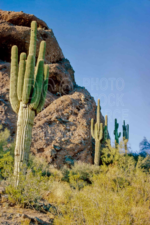 Saguaro Cactus,cactus,papago butte,papago park,plant,desert,saguaro,usas,plants,landscapes