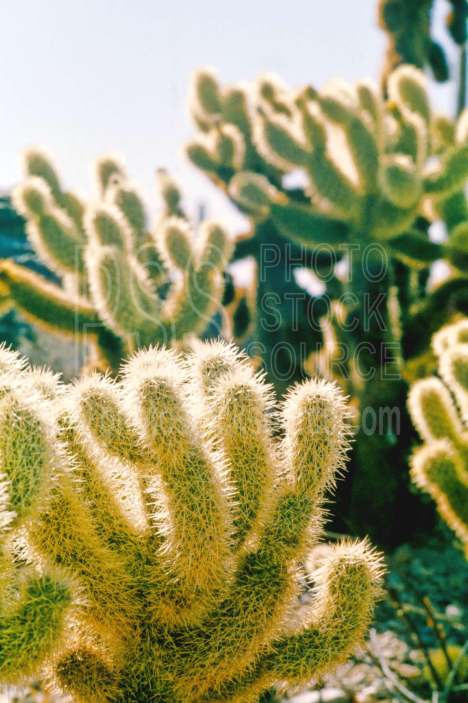 Teddy Bear Cholla,cactus,cholla,plant,desert,usas,plants