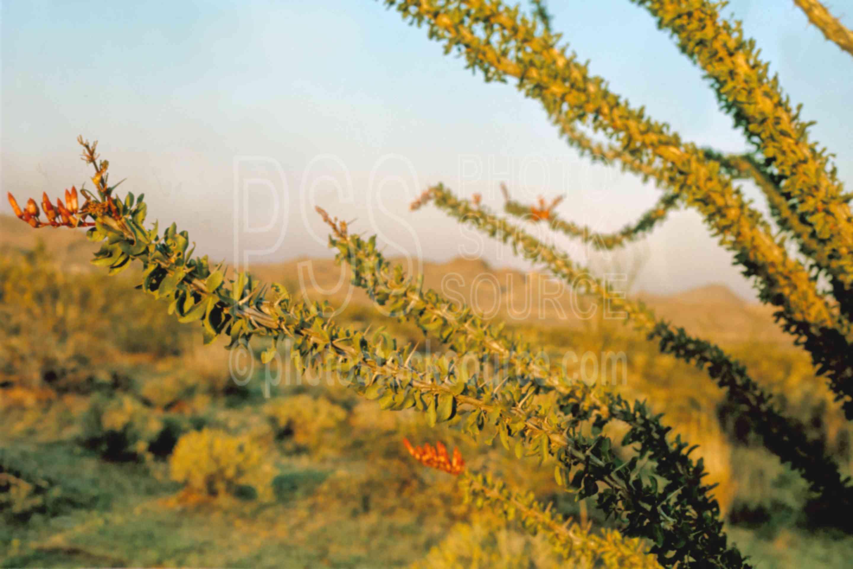 Ocotillo Flower,flower,ocotillo,plant,usas,plants