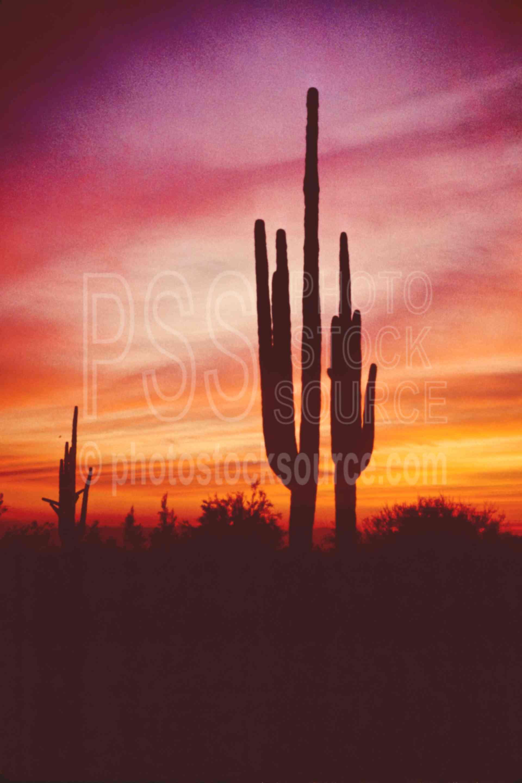 Saguaro Sunset,cactus,plant,saguaro cactus,desert,usas,plants