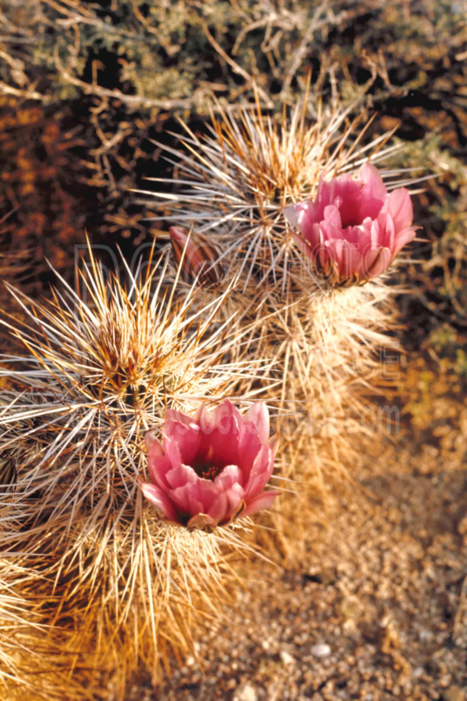 Cactus Flowers,cactus flower,plant,desert,usas,plants,flowers