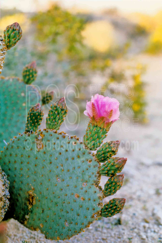 Cactus Flower,plant,desert,usas,plants,flowers