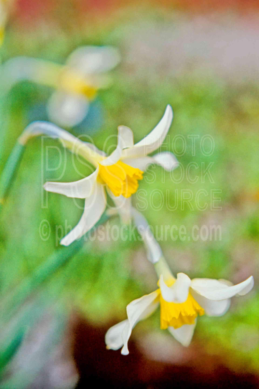 Daffodils,plant,garden,spring,plants,flowers