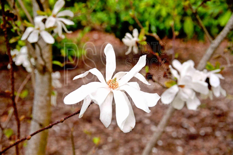 Star Magnolia,magnolia,park,ruff park,bloom,spring,magnolia stellata,plants