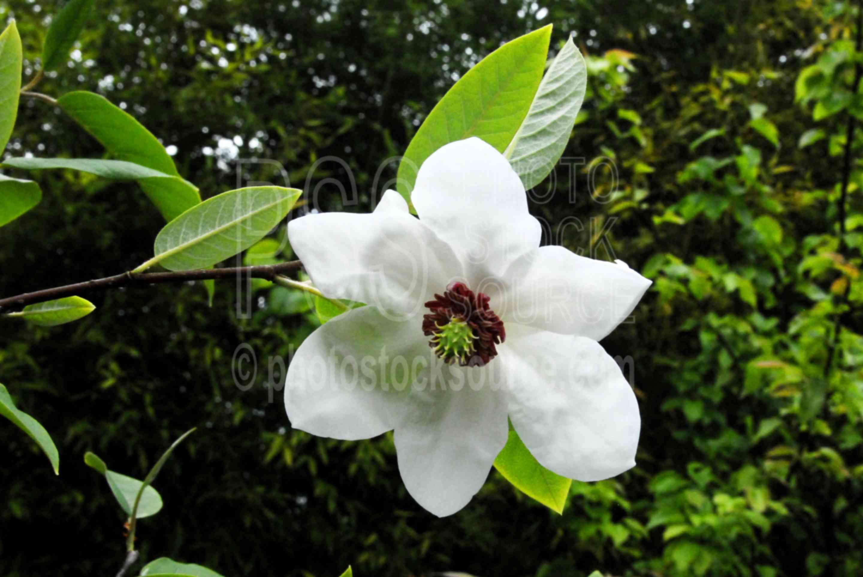 Magnolia (magnolia wilsoni),magnolia