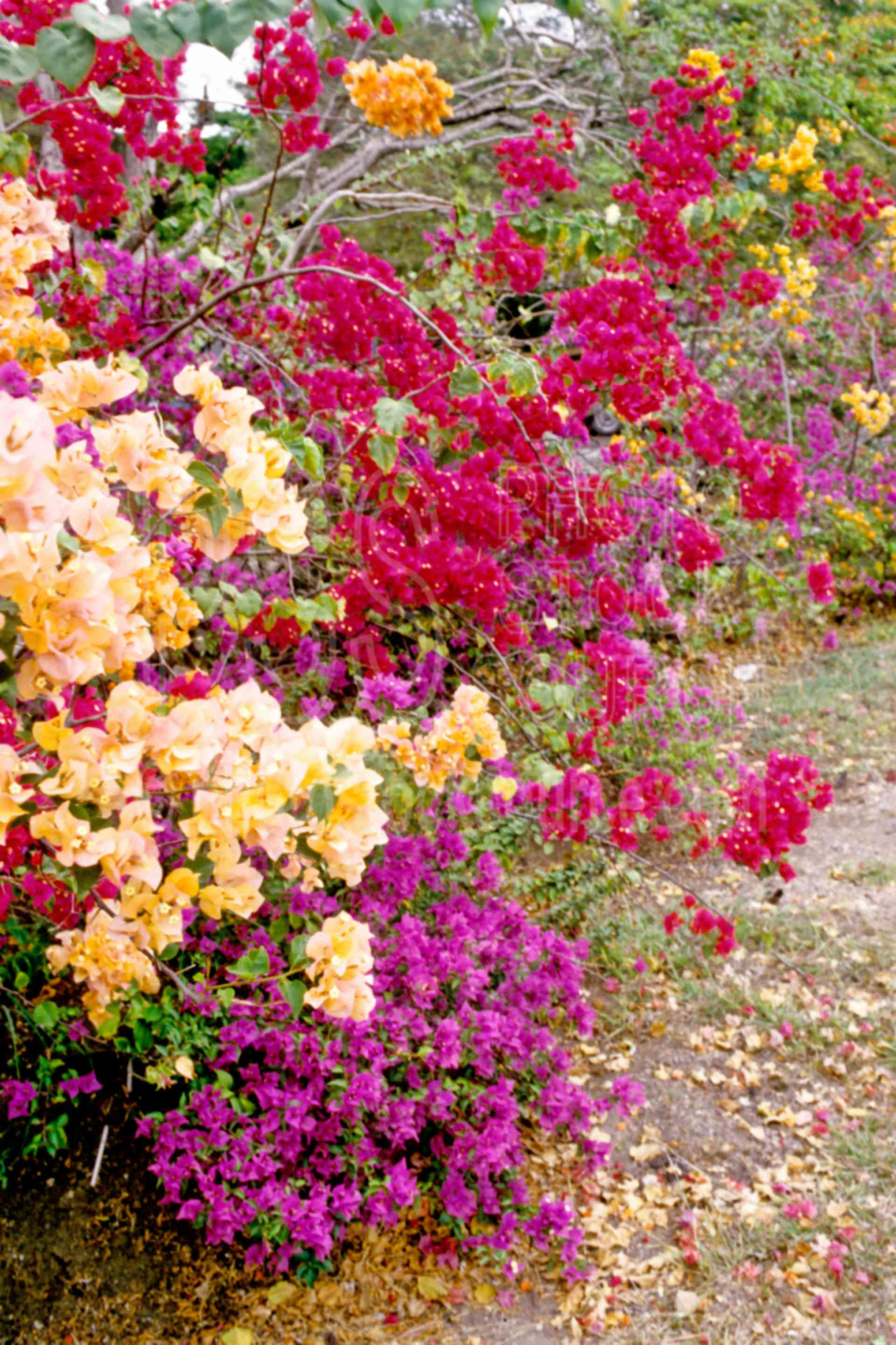 Bougainvillea,plants,flowers