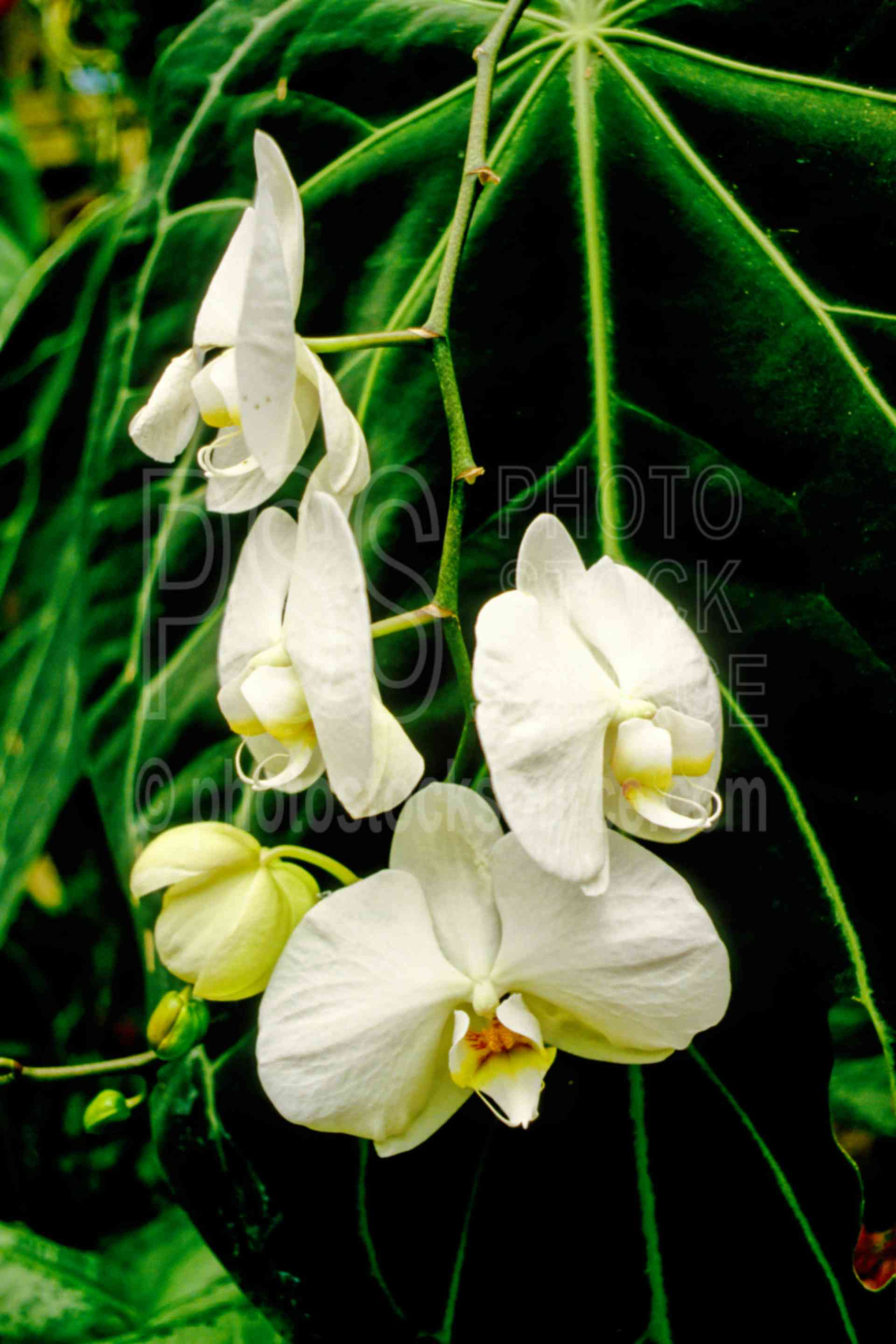 White Orchids,orchid,white,plants,flowers