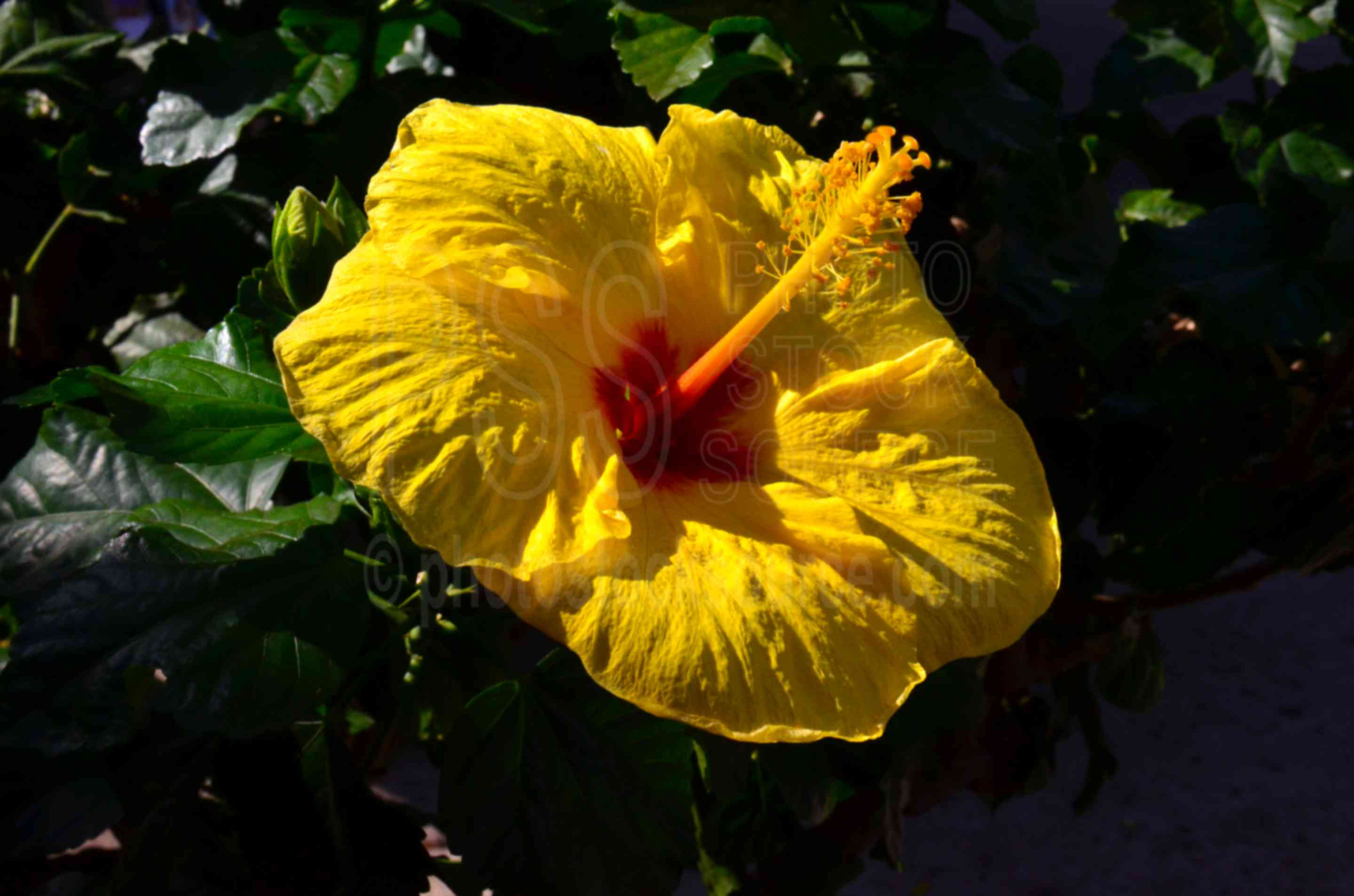 Yellow Hibiscus Flower,maui,flower,tropical,yellow,hibiscus brakenridgei,hibiscus