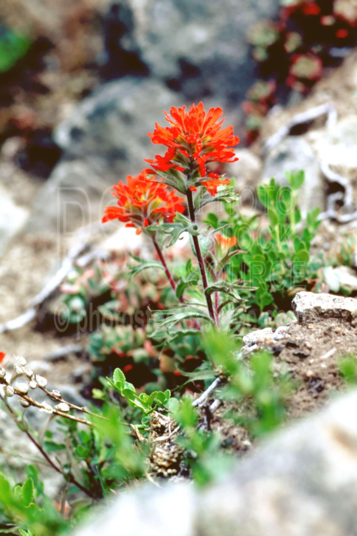 Indian Paintbrush,usas,plants,flowers