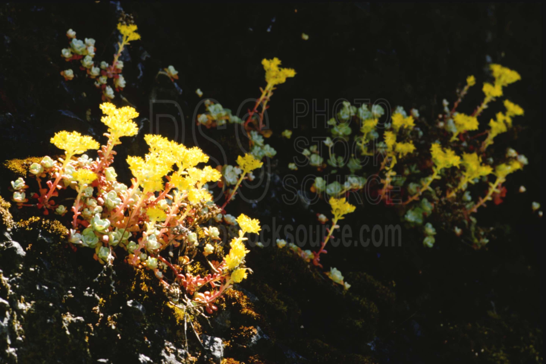 Oregon Stonecrop,sedum oreganum,stonecrop,usas,plants,flowers